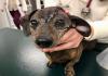cô chó được cứu sống nhờ hộp sọ titan in 3D