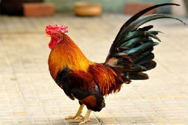 Ý nghĩa giấc mơ thấy gà