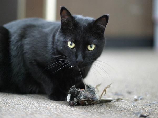 Nằm mơ thấy mèo đen là điềm báo gì?