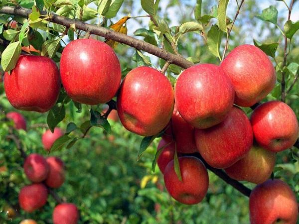 Tác dụng của táo đối với sức khỏe của bạn